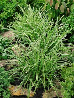 "Carex morrowii Ice Dance (Japanese Sedge) Short 12-14"" Deep green leaves edged in white part sun to full shade"