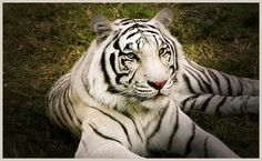 Facts about White Tiger: Siberian Tiger is the biggest cat in the world reaching a size of 650 lbs. They can jump 30 feet in a single leap. Tigers are the only big cats that enjoy going into water. There are only about 200 white tigers left in the world. The last spotting of a White Bengal Tiger in the wild was in central India in 1951.