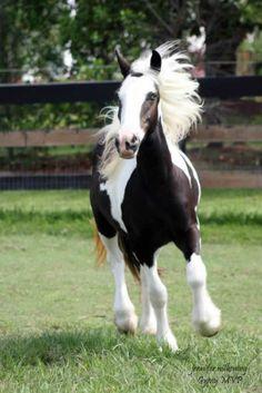 Gypsy Vanner Horses | Filly | Haley