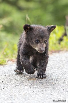 Black bear cub about to cross the road. Jasper National Park – Alberta Black bear cub about to cross the road. Bear Cubs, Panda Bear, Polar Bear, Grizzly Bears, Tiger Cubs, Tiger Tiger, Cute Baby Animals, Animals And Pets, Wild Animals