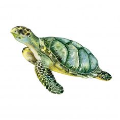Sea Green Turtle Isolated On White Stock Illustration 606128564 Beach Watercolor, Watercolor Animals, Watercolor Paintings, Green Watercolor, Sea Turtle Painting, Sea Turtle Art, Turtle Images, Sea Turtle Pictures, Green Turtle