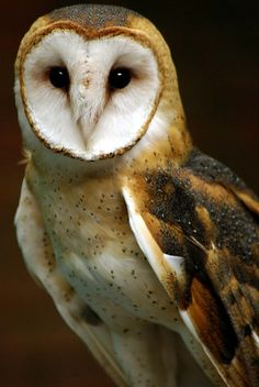 Barn Owl by Sonya L. Yost