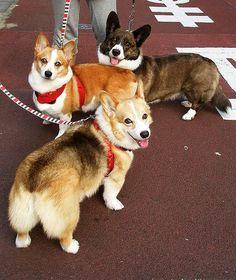 Happy furry Friday! (Corgi group) by tanakawho, via Flickr