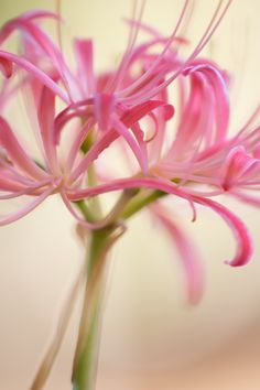 CLUSTER AMARYLLIS MACRO PHOTOGRAPHY FLOWER