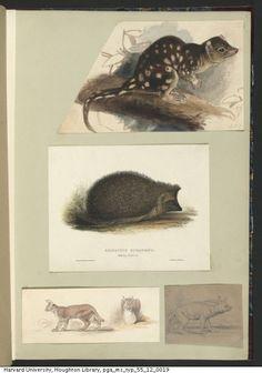 Lear, Edward,1812-1888. Edward Lear drawings of animals and birds,ca. 1831-1836. MS Typ 55.12. Houghton Library, Harvard University, Cambridge, Mass. http://nrs.harvard.edu/urn-3:FHCL.HOUGH:5127407?n=19