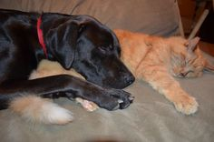 Black Lab and Tabby Cat Deuce and Woody Snuggle Buddies!
