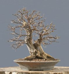 Bonsai Photo of the Day 5-18-2018 – BonsaiJack.com #bonsaijack #bonsai