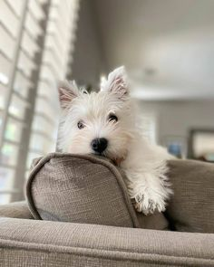 Westie Puppies, Dachshund Dog, Westies, Cute Puppies, Dogs And Puppies, Doggies, West Highland Terrier, Animals Beautiful, Cute Animals