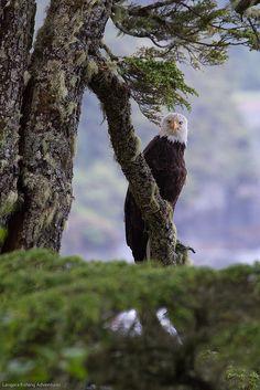 Bald eagle Langara Island Lodge Haida Gwaii BC by Langara Fishing Adventures, via Flickr