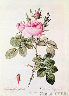 Pierre Joseph nach Redoute - Rosa Bifera Officinalis, from 'Les Roses' by Claude Antoine Thory (1757-1827) engraved by Eustache Hyacinthe Langlois (1777-1837