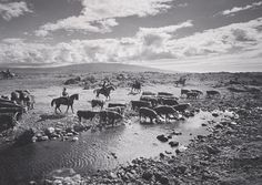 ANSEL ADAMS 1902 - 1984 Driving Cattle on the Parker Ranch, North Hawaii Date: 1958