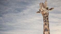 No es fácil ser jirafa.Con un cuello de dos metros de longitud, necesitan un corazón capaz de latir con suficiente potencia para hacer llegar la sangre hasta el cerebro. Lo consiguen con un vigoroso...