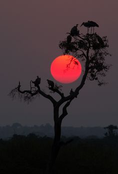 ~~Serengeti sunset... | across the Mara from Kenya, the sun rests gently within the branches of an Acacia tree...sunset. A new world awakens on the Serengeti by Pamela Wayne-Carter~~