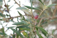 Olive trees    Stoupa, Greece