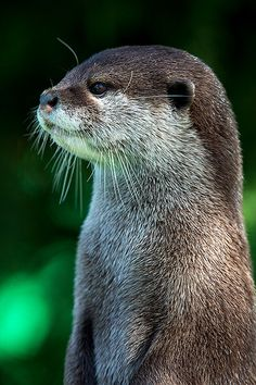 Oriental Small Clawed Otter by Dave Hunt Photography
