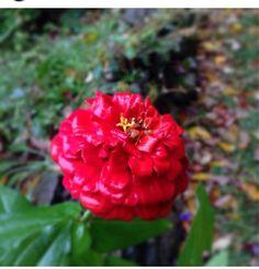 Zinnia - http://www.gardenanswers.com/annuals/zinnia/