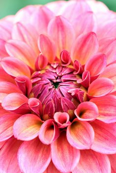 """Dahlia """"Antique Roman"""" makes me think of my neighbor who grows beautiful ones! All Flowers, Flowers Nature, Amazing Flowers, Fresh Flowers, Beautiful Flowers, Dahlia Flower, Flower Petals, Garden Plants, Fruit Garden"""