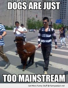 hipster llama alpaca dogs mainstream walking funny pics pictures pic picture image photo images photos lol