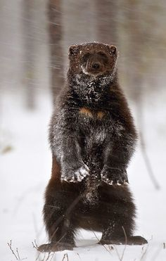 Glutton or wolverine (Gulo gulo scientific name) is a rare marten, which live in arctic and subarctic area of the globe, in the taiga areas in Eurasia and North America, but sometimes it can be found in the tundra. It is the largest and most powerful representative of the MARTEN family.