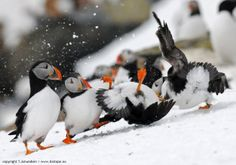 Puffins- what's going on here?!