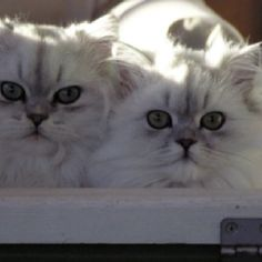 Georgie and Snowy the most beautiful kitties