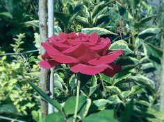 Rožė 'Mr. Lincoln'