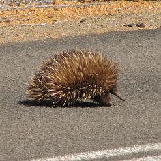 Echidna on Kangaroo Island, South Australia Photo by Melanie Wynne - Travels With Two
