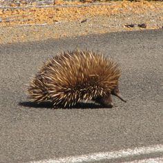 Echidna on Kangaroo Island, South Australia Photo by Melanie Wynne - Travels With Two