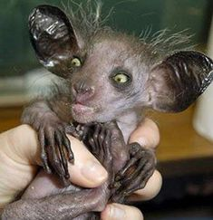 No! It's not an alien! It's an Aye-aye. A harmless rodent-type animal native to Madagascar.  Freaky looking little thing!!