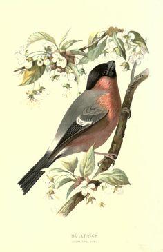 Bullfinch - Familiar wild birds / by W. Swaysland - 1883 Biodiversity Heritage Library