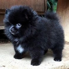 Marvelous Pomeranian Does Your Dog Measure Up and Does It Matter Characteristics. All About Pomeranian Does Your Dog Measure Up and Does It Matter Characteristics. Black Pomeranian Puppies, Cute Pomeranian, Puppy Husky, Cute Puppies, Cute Dogs, Puppy Mix, Cute Baby Animals, Animals And Pets, Save A Dog