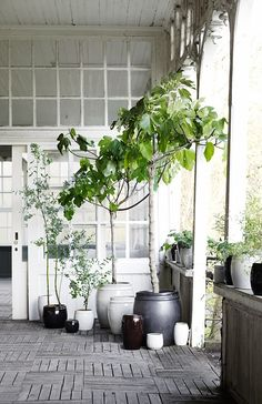 Love the look of black and white pots, though those fig trees, if left in these pots will break the pots eventually as roots grow to be very large....