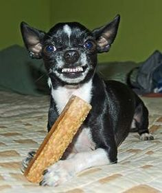 To get some great tips on cleaning dogs teeth the easy way, this article is very helpful. I love the way this little fella, a Chihuahua seems to be giving a big toothy grin as he tucks into his Dental chew!
