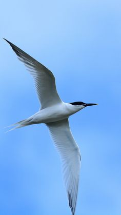 Sandwich Tern Thalasseus sandvicensis Common resident spring through fall, uncommon in winter