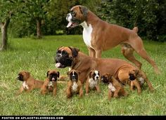 aplacetolovedogs: A cute family of Boxers. Momma, Poppa, and the little wee ones For more cute dogs and puppies