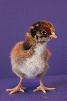 Cream Legbar female chick from A Chicken A Day