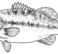 Bass Fish Sketch of Bass Fish Coloring Pages Fish Pinterest