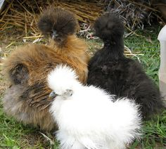 These are some other color of Silkies, I think they look like the chickens are wearing hats like Phyllis Dillar, what do you think?