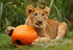 Busch Gardens lion cubs celebrate Halloween. The brother and sister indulged in their own pumpkins as part of the theme park's annual fall enrichment.