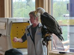 McKinley Princess Lodge naturalist with Bald Eagle.