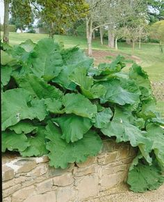 Burdock Seeds for pottery and compost fodder