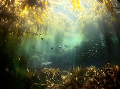 Kelp Forest - an image taken while diving/playing with a seal off the coast of Santa Cruz island off Santa Barbara. The kelp forests are so dense there are little pockets of crystal clear water where sediment isn't washing around as much as the rest of the area.