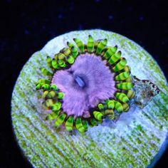 WWC Purple Monsters Zoanthids