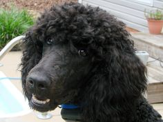 My Standard Poodle