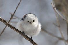 Shima-Enaga. Se trata de un tipo de ave de plumas blancas y tiene una cola muy larga y negra. Vive solo en Hokkaido. A diferencia de las aves del norte de cola larga en el resto de Japón, este no tiene cejas marrones, su cabeza es completamente blanca.