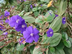 Tibouchina--How to Grow Tibouchina Plants Indoors: <i>Tibouchina's</i> flowers are a deep, striking purple, most likely giving rise to its nickname, the princess flower.