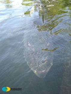 A menacing looking photo of a musky just under the surface of the water. ( OMH what is a Musky? Never going swimming again! Pike Fishing, Trout Fishing, Fishing Lures, Fly Fishing, Fishing Stuff, Saltwater Fishing, Fishing Boats, Scary Ocean, River Monsters