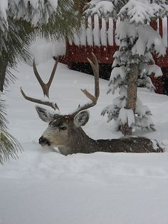 Deep snow, near Denver photo via Julie Connolly In Roxborough Park. The snow. The deer. I Love Snow, I Love Winter, Maine Winter, Winter White, Snow White, Beautiful Creatures, Animals Beautiful, Cute Animals, Winter Magic