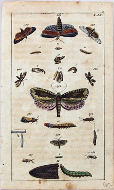 ANTIQUE PRINT ALBERTUS SEBA: CABINET OF NATURAL CURIOSITIES: INSECTS - BUTTERFLIES - MOTHS PLATE T.LI via Grandpa's Market. Click on the image to see more!