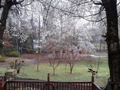 Now we have a baby fruit orchard and all the variety of trees are beginning to bloom. From here on in it will be a competition between the insects, the birds, the squirrels and us for the fruit.